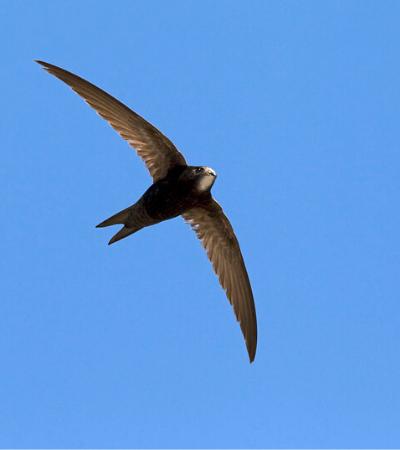 A espécie de ave que passa incansáveis 10 meses sem pousar