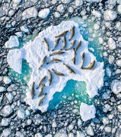 Imagem de focas descansando em gelo flutuante vence concurso e levanta debate ambiental