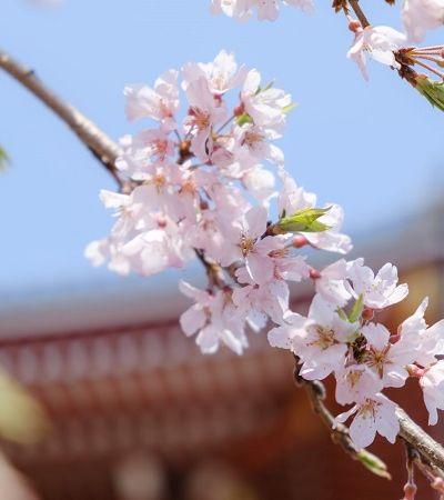 Flores de cerejeiras são apreciadas de dentro de casa no 'Hanami Virtual' japonês