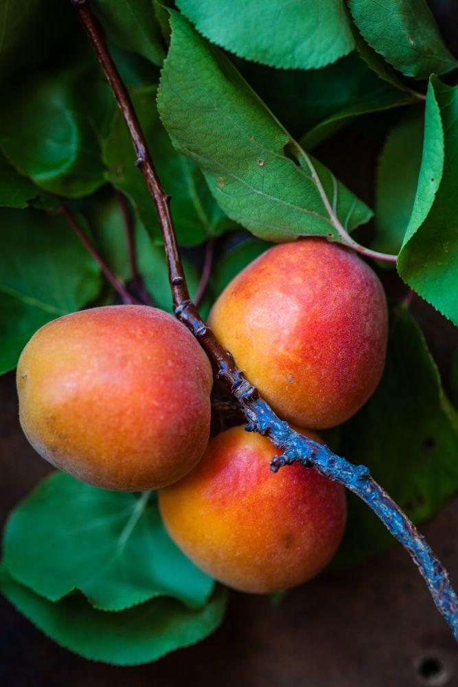 Mangueira com três frutos de manga