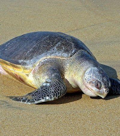 Tartarugas retornam em massa para fazer ninhos na costa da Índia