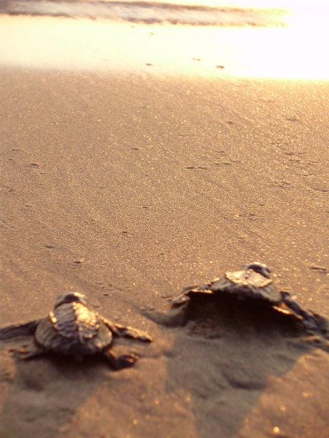 Tartarugas da espécie Olive Ridley