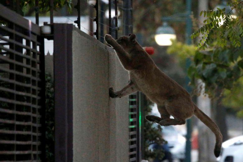 Puma escala um muro antes de ser capturado em Santiago, Chile