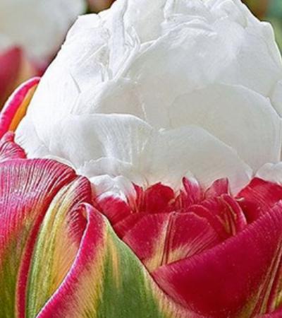 Este inacreditável sorvete em forma de tulipas é o presente mais perfeito