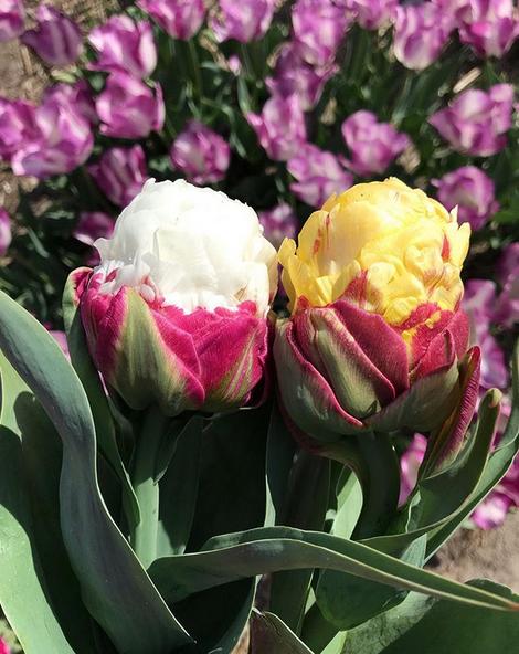 tulipa de sorvete 1