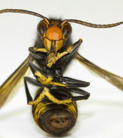 O que se sabe sobre as 'vespas assassinas' que assustam produtores nos EUA