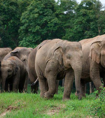 Isolamento faz elefantes voltarem para casa por falta de turistas na Tailândia