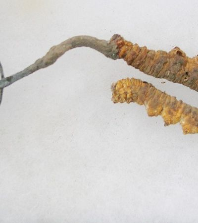 Yarsagumba: o parasita mais caro do mundo que vale 3 vezes seu peso em ouro