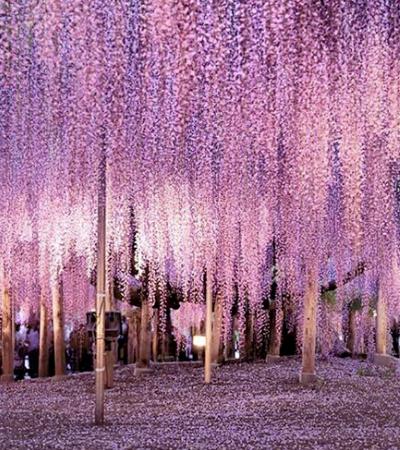 Esta glicínia de 150 anos é considerada por muitos a árvore mais bonita do mundo