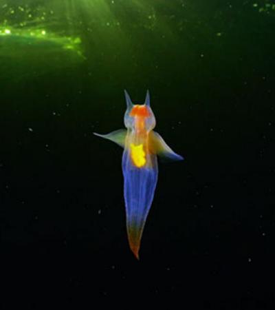Anjo do mar: imagens da criatura mais surreal da natureza viralizam