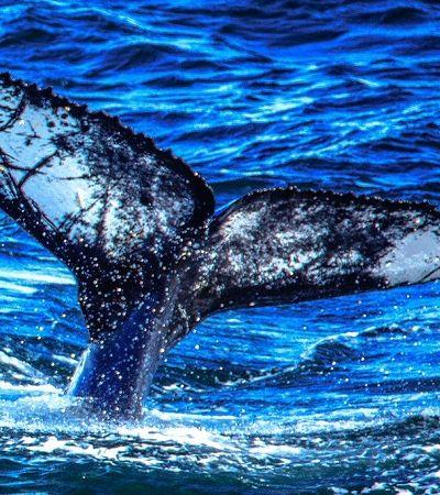Cientistas registram efeitos da redução do ruído oceânico em baleias durante quarentenas