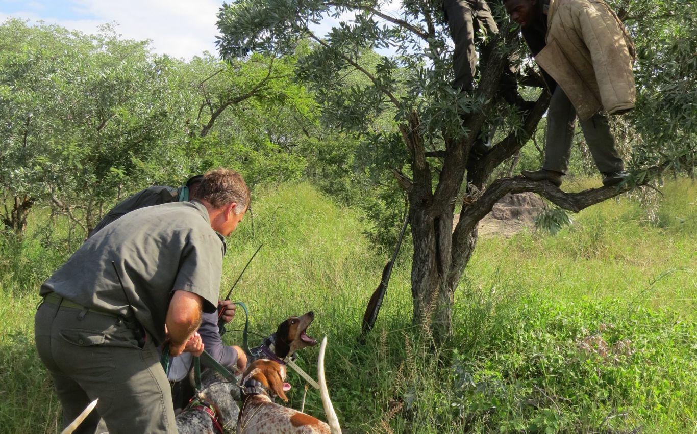 beagles-caçadores-3