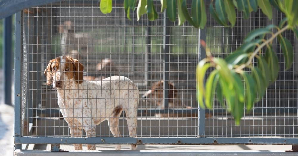 beagles-caçadores-4