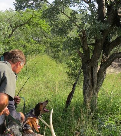 Cães estão sendo treinados para salvar rinocerontes de caçadores na África do Sul