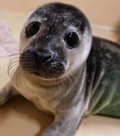 ONG resgata bebês foca em perigo e esses são os filhotes mais fofos