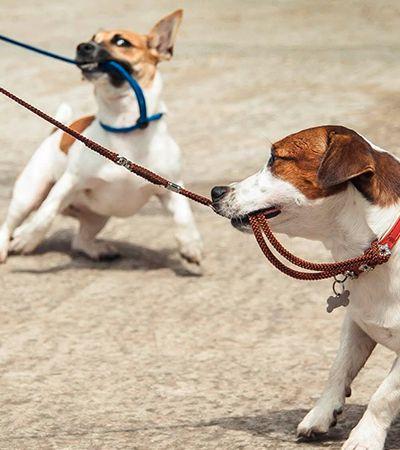 Estudo revela idade em que cachorros passam por adolescência e pede compreensão
