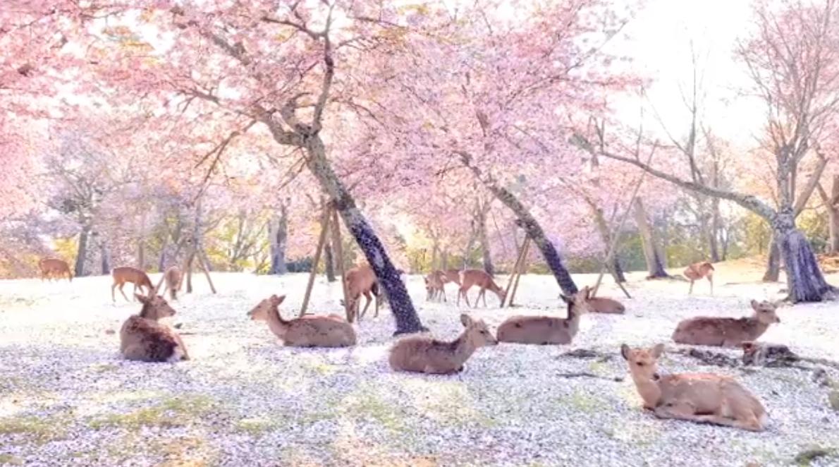 cervos parque japão quarentena 1