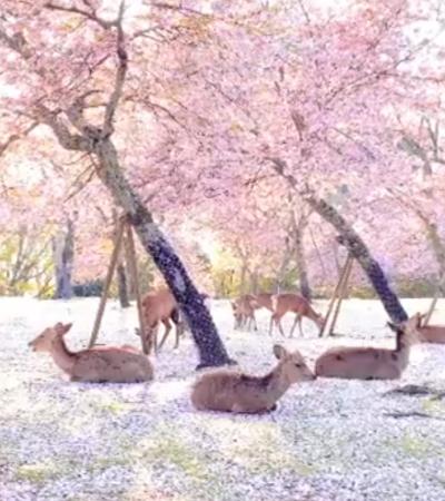 Cervos curtem um dia mágico em parque japonês sem humanos por perto