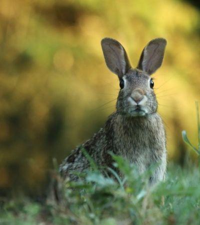 O vírus hemorrágico letal que está dizimando populações de coelhos nos EUA