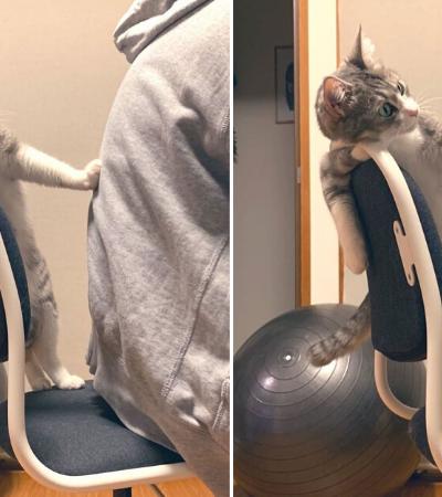 Gato viraliza no Twitter tentando impedir que seu dono se sente em sua própria cadeira