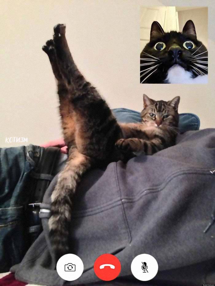 Gato fazendo pose sensual para a webcam enquanto outro gato olha com os olhos arregalados