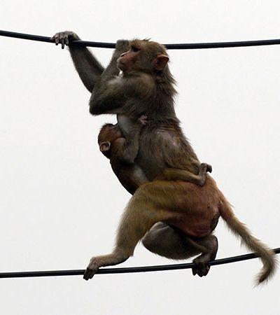 Macacos invadem laboratório e 'roubam' testes de coronavírus