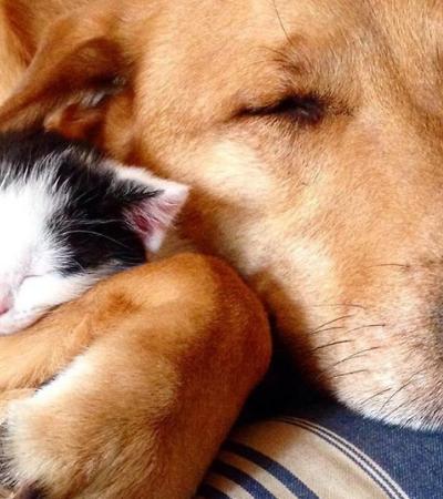 Este catíoro cuida de filhotes de gato abandonados até que eles encontrem um lar
