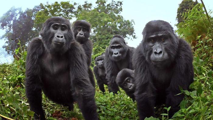 robô gorila infiltrado 1