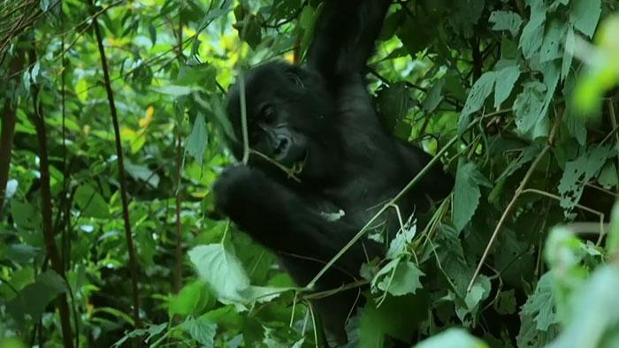 robô gorila infiltrado 4