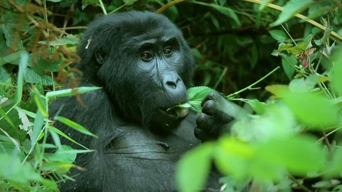 robô gorila infiltrado 5