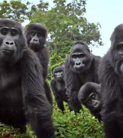 Robô gorila se mistura a integrantes de grupo e registra momentos nunca antes vistos