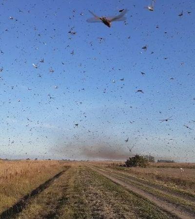 Nuvem gigante de gafanhotos faz Argentina emitir alerta na fronteira com o Rio Grande do Sul