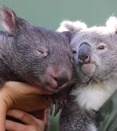 Zoológico divulga fotos da amizade feita na quarentena entre um wombat e um coala