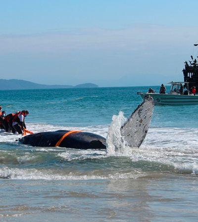 Pescadores trabalham para salvar baleia encalhada em praia de Santa Catarina