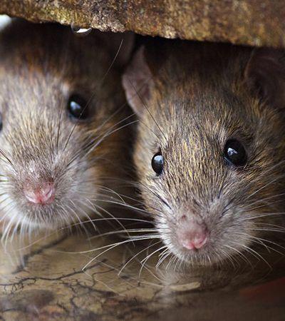 Coronavírus deixou ratos mais agressivos; entenda o que está acontecendo