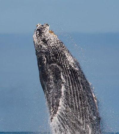 Baleias jubarte dão show de saltos em Ilhabela e encantam pesquisadores