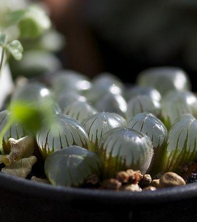Espécie de suculenta que produz 'pequenas jóias' ganha prêmio de variedade incomum