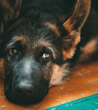Caso de cachorro com coronavírus é confirmado pelo Departamento de Agricultura dos EUA