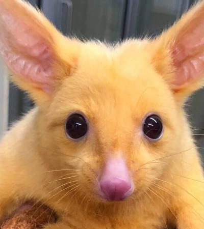 Pikachu da vida real é descoberto após veterinários resgatarem pequeno gambá