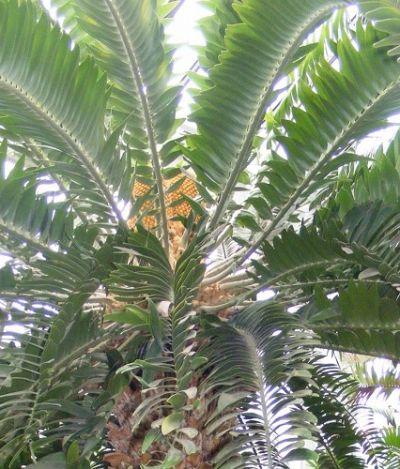 A planta que viveu na época dos dinossauros e hoje é a mais solitária do mundo