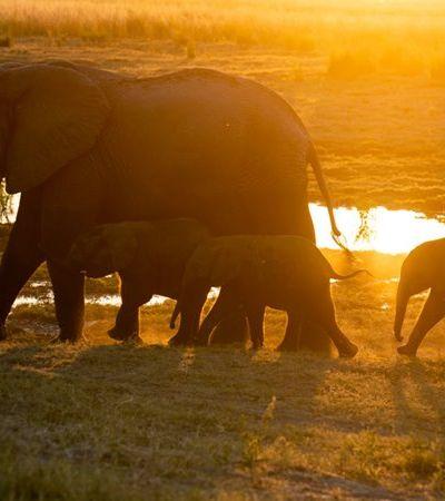 Botsuana ainda não sabe o que causou a morte de ao menos 350 elefantes; entenda