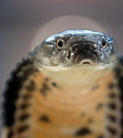 Cobra naja pica estudante que fica em coma no DF; animal é comum em regiões da África