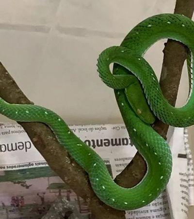 Serpente não será abatida e investigação de possível tráfico feito por jovem picado por naja apreende mais cobras
