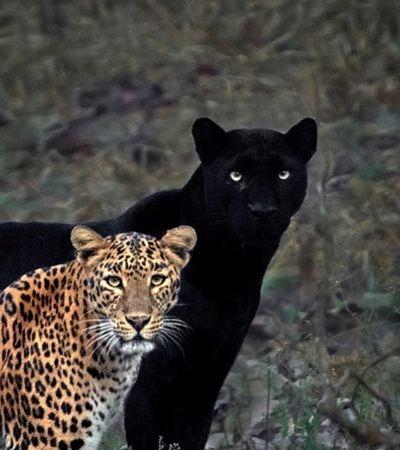 Pantera negra rara é clicada ao lado de leopardo em foto para a eternidade
