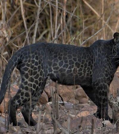Leopardo negro raríssimo é flagrado por turista; veja fotos do feito