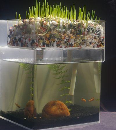 Este pequeno ecossistema permite cultivar hortaliças e criar peixes ao mesmo tempo