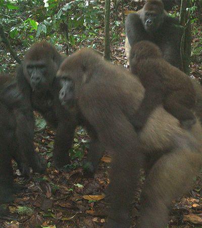 Fotografias inéditas mostram vida dos gorilas mais raros e caçados do mundo
