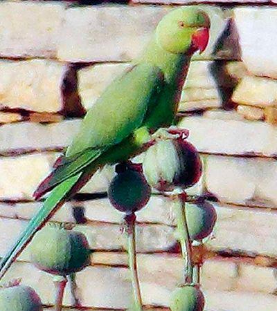 Sob o efeito de opióides, papagaios atacam fazendas na Índia; entenda