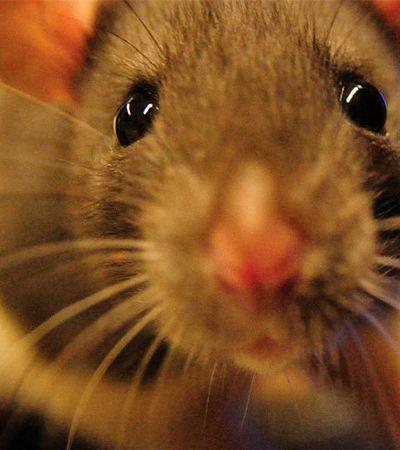 Restauração sem cirurgia da visão de ratos cegos dá esperança para humanos, dizem cientistas