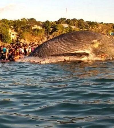 Imagens impressionantes mostram baleia de 23 metros encalhada em mar da Indonésia